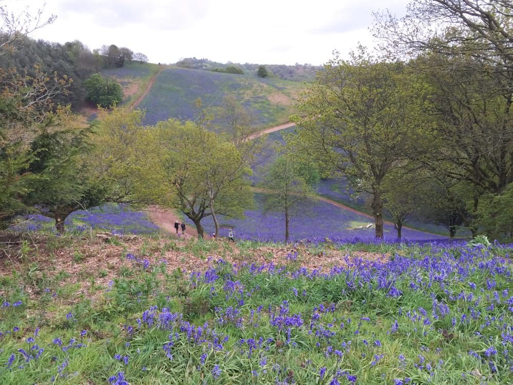 Clent Hills bluebells